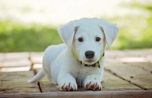 white puppy laying down
